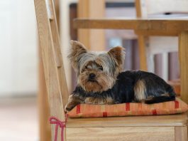 Best Food For Yorkshire Terriers, Reviewed by TreeHousePuppies