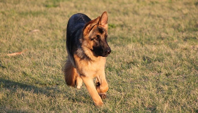 Does your dog have hip dysplasia