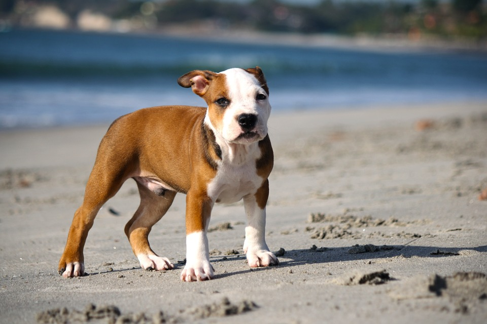 Food for Puppy Pitbull to Gain Weight