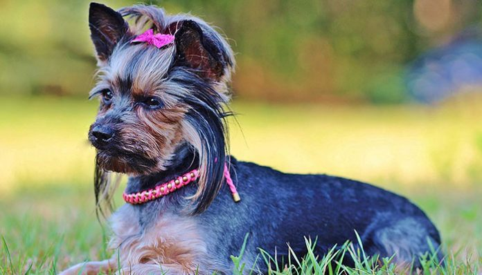 How to take care of Yorkshire Terrier Hair