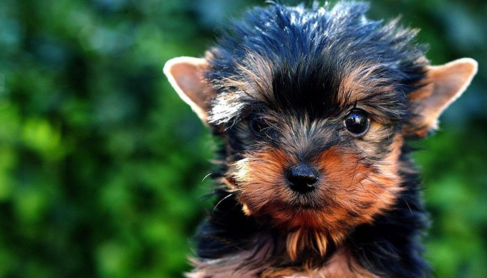 Teacup Yorkie Information