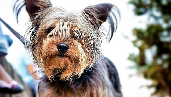 Typical Yorkshire Terrier Temperament