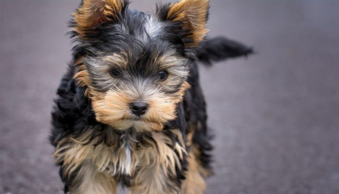 What to feed a Yorkie Puppy