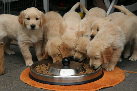 5-puppies-eating-from-the-same-bowl