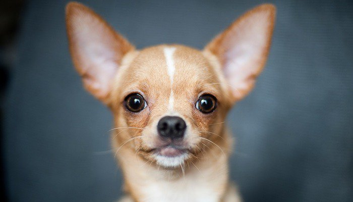 Best Dog Food for Chihuahua Review