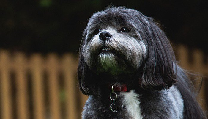 10 Best Dog Foods for Shih Tzu's in 2021