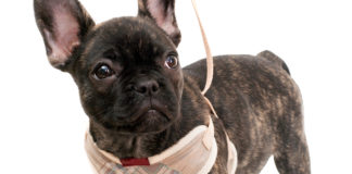 Best Harness for Small Dogs Review