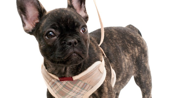15 Best Harnesses for Small Dogs in 2021