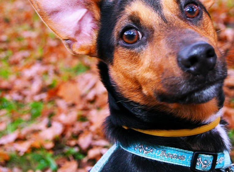 black-brown-puppy-with-skyblue-collars