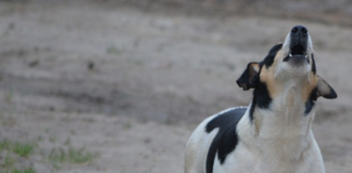black-spotted-white-dog-howling