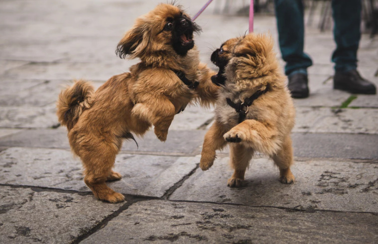 two-tiny-dogs-on-leash-playing