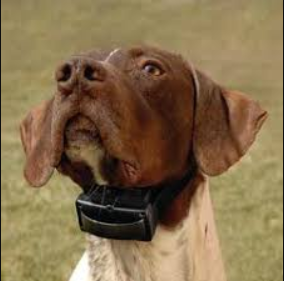 dog-with-tight-shock-collar-on
