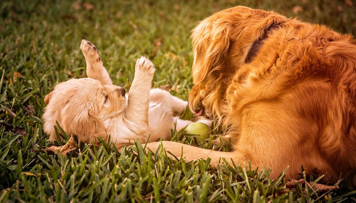 Golden Retriever Temperament