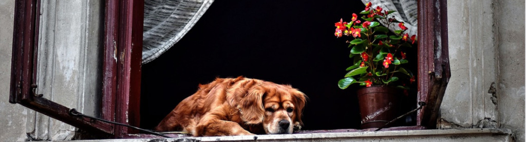 old-brown-dog-resting-on-the-window
