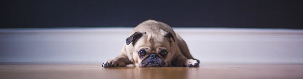 pug-lying-on-the-floor-looking-at-the-camera