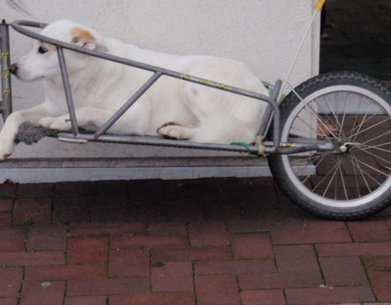 white-dog-in-trailer-waiting-for-its-owner