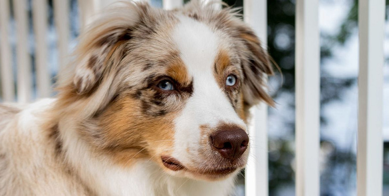 7 month old australian shepherd