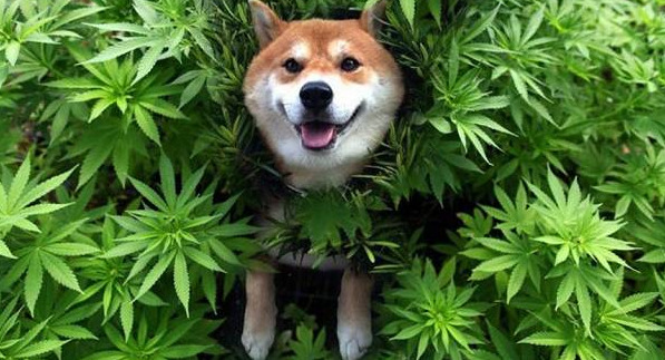a-dog-in-a-plant-of-hemp-smiling