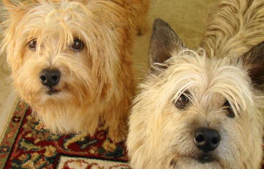 two-white-hairy-dogs-staring-upfront