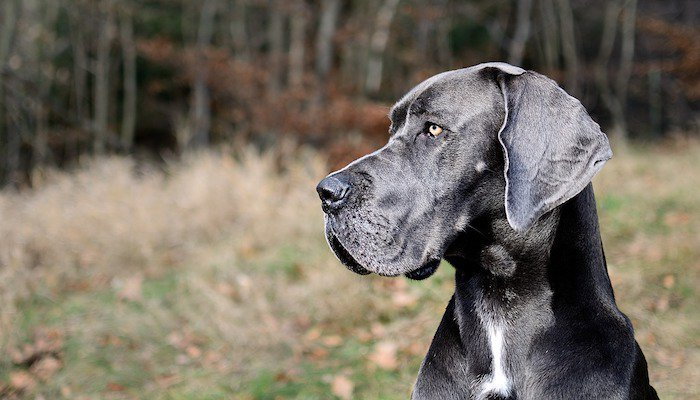 7 Best Dog Foods For Great Danes 2018 Treehousepuppies