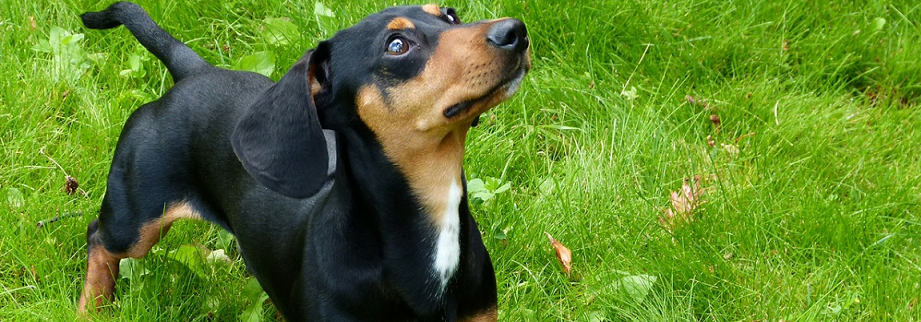 black daschund standing on the grass