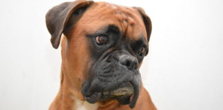 brown boxer on white background