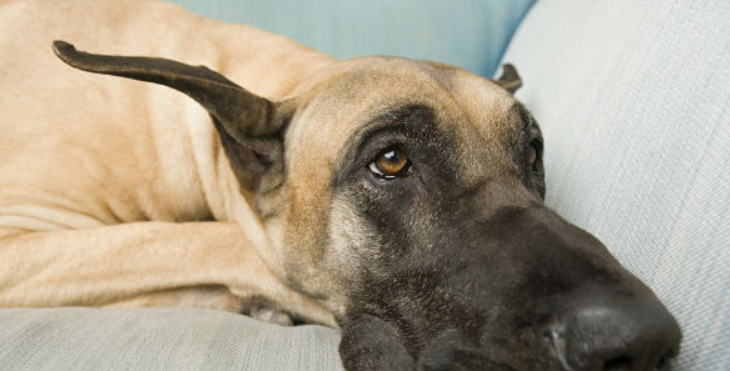 CBD for Dogs With Lymphoma