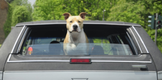 dog looking out at the rear window of a car