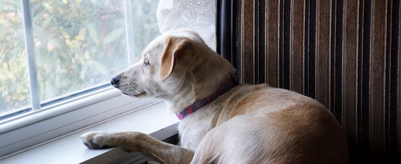 dog-lying-in-the-sofa-while-looking-through-the-window