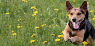 dog-running-through-the-grass-and-flowers