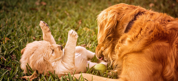 mother and pup golden retriever