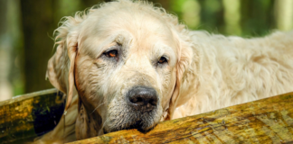old and wet golden retriever