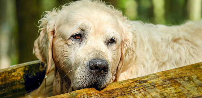 CBD Oil for Golden Retrievers – Treat Hip Dysplasia, Anxiety & More
