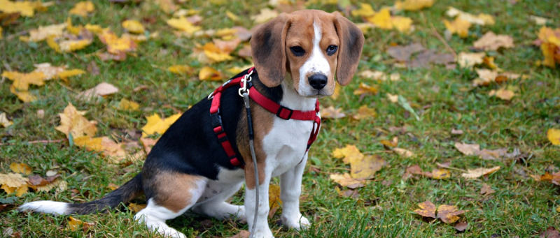 puppy beagle sitting down in the grass with a harness