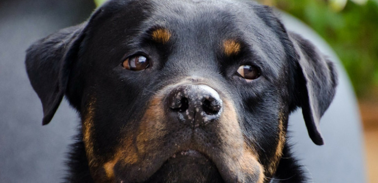 CBD Oil for Rottweilers That Can Really Help