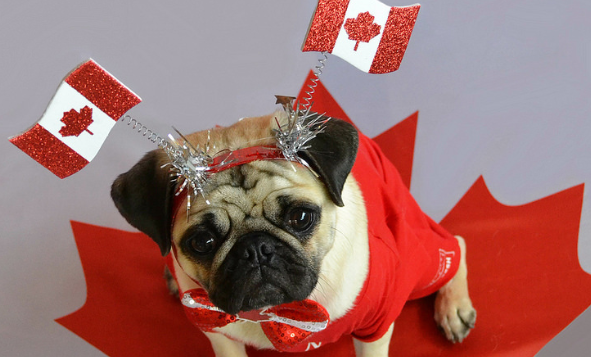 sad looking dog wearing a canada flag attire