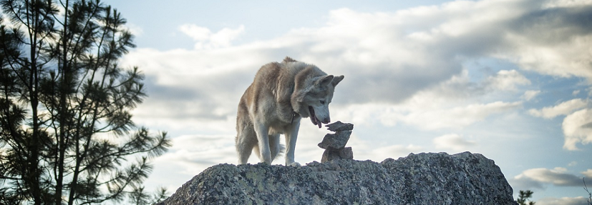 sibreian husky standing on the rock