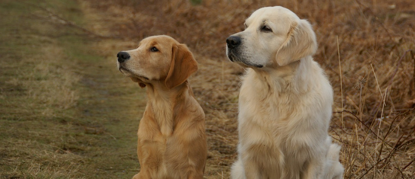 two golden retrievers looking left