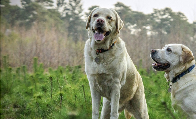 two-labradors-strolling-by-the-forest-taking-a-pose