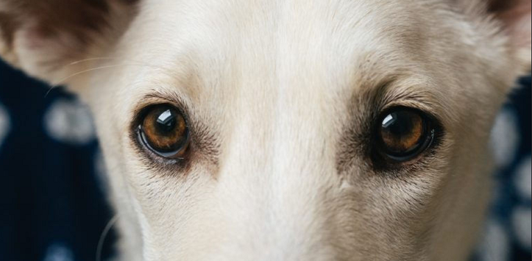 white dog's clear brown eyes
