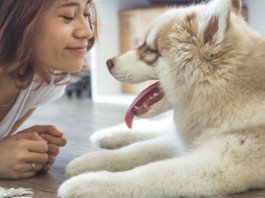 young husky with woman