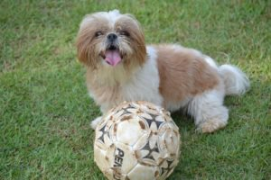 Is Your Shih Tzu Diet Causing