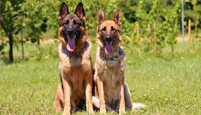 8 Ways to Keep Your German Shepherd DOG