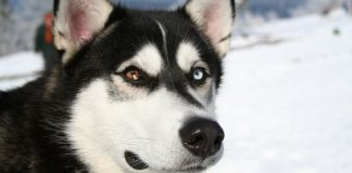 Siberian Husky Care Guide