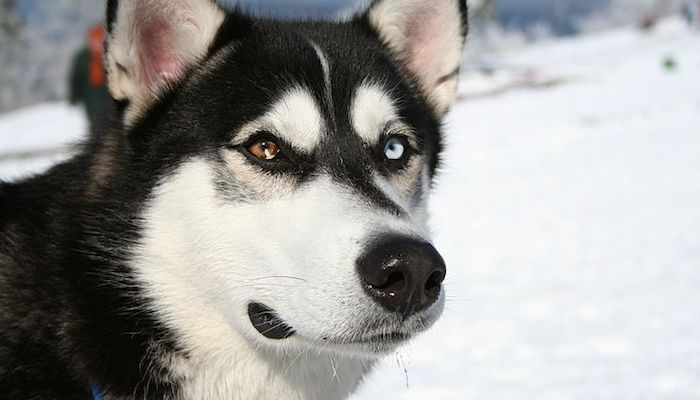 Dog-Care Facts Every Siberian Husky Owner Needs to Know