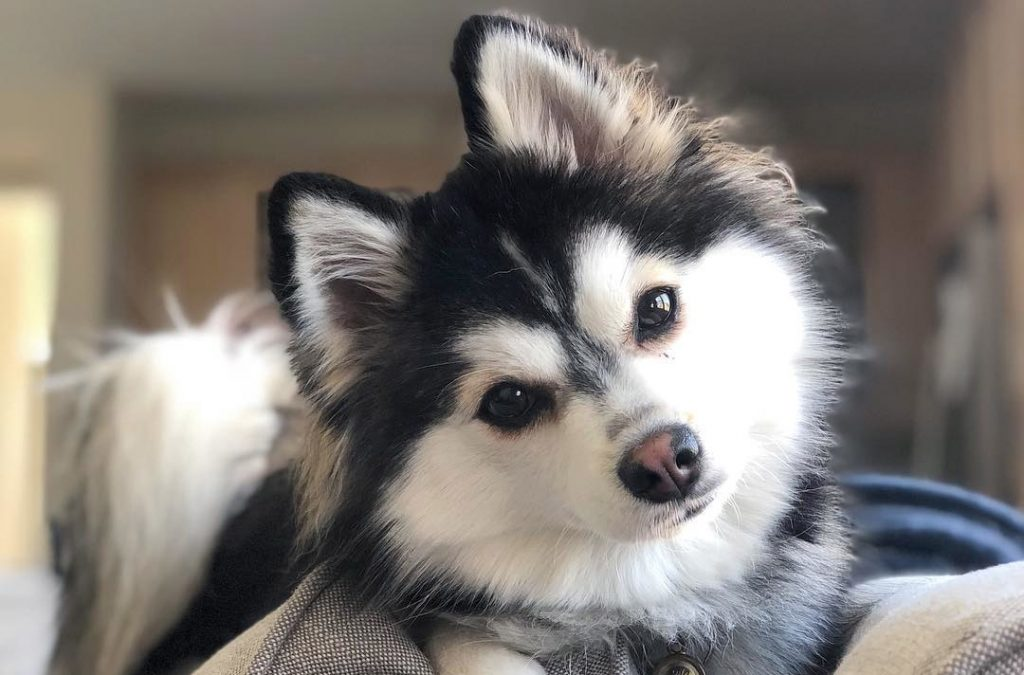Pomsky Dog Mix