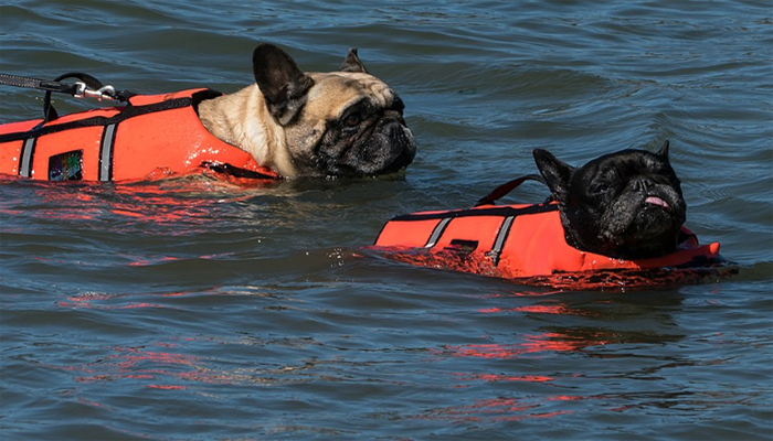 Two dogs with life jacket