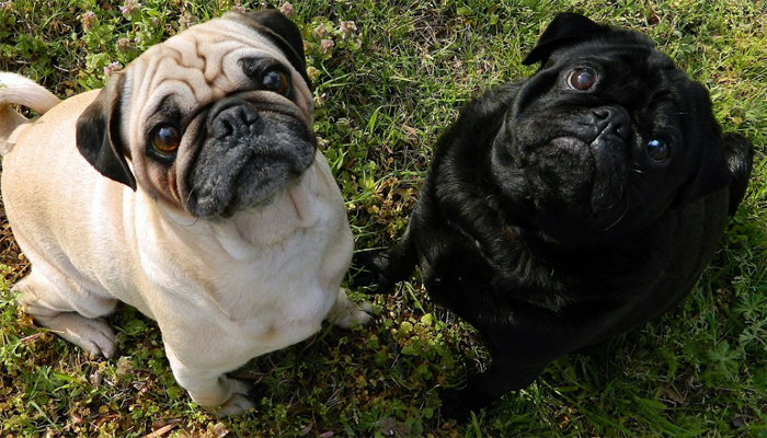 Best Dog Food for Pugs in 2021