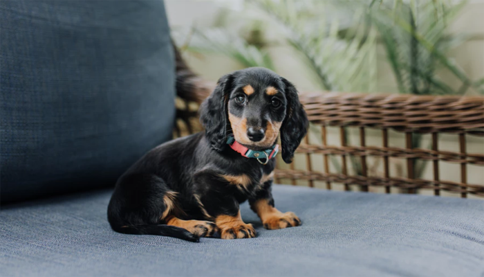 Best Dog Food for Dachshunds in 2021