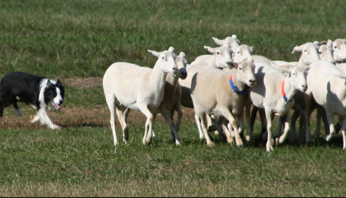 Sheepdog Trials: A Competitive Dog Sport